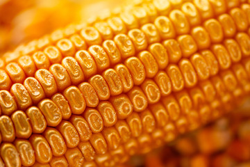 Corn cob with golden seed kernels, conceptual image