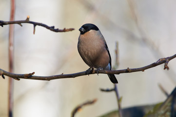 Eurasian bullfinch sits on a branch of a wild apple in a winter forest park.