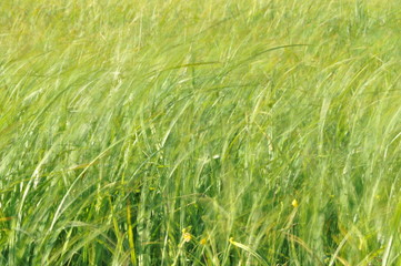 Sedges swaying in the wind. Wet meadow during haymaking. Lush green grass.