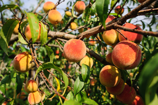 Peach branches hung with plenty of fruit