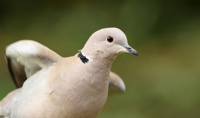 Eurasian collared dove spreading wings