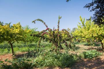 Fresh peach tree on Mallorca
