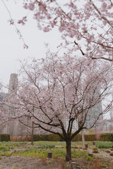 Pink spring blossom trees on a dreary day in Chicago