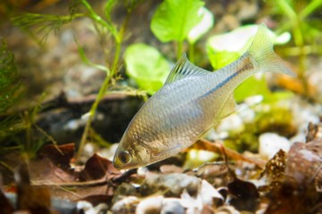 Rhodeus amarus, European bitterling, ornamental adult male freshwater fish in biotope aquarium, tank bottom, nature photo