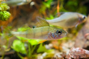 Perca fluviatilis, European perch and Rhodeus amarus, European bitterling, freshwater predator and prey in biotope aquarium, nature photo