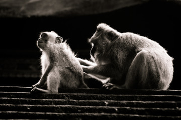Macaques mother nad child interacting, black and white high contract picture, Monkey Forest, Ubud, Bali