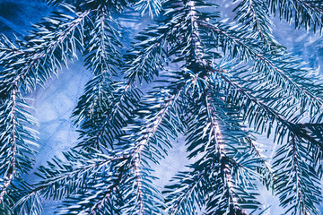 Christmas fir tree blue background with copy space. Fir tree branches texture.