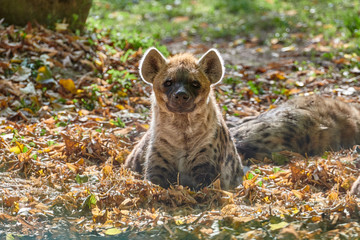 Fotobehang Hyena Spotted hyena (Crocuta crocuta) or laughing hyena