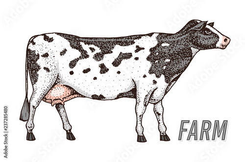 Farm cattle bull or cow  natural milk and meat  Different
