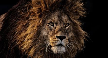 Foto auf Acrylglas Löwe portrait of a lion