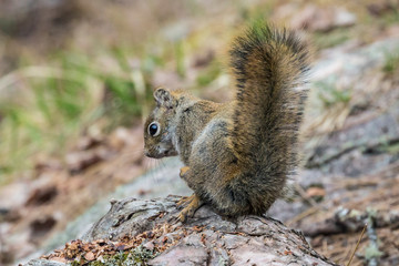 Wild red squirrel in Voyageurs National Park (Minnesota).