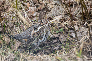 A ruffled grouse in Voyageurs National Park (Minnesota).