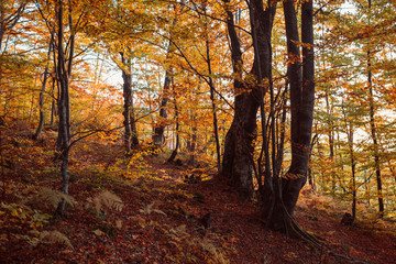 Beautiful golden forest in the mountains