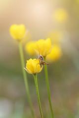 Fotobehang Lieveheersbeestjes yellow flowers on green background of grass