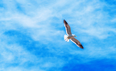 Group of seagulls in the sky, Puerto Montt, Chile. With selective focus.