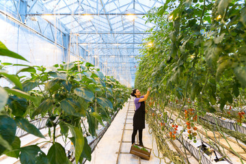 Female worker or employee picking tomatoes in a modern greenhouse