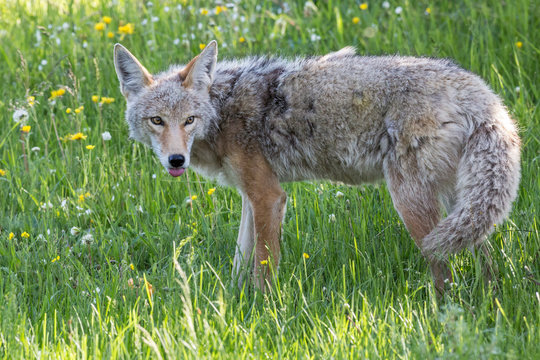A wild coyote in Yellowstone National Park (Wyoming).