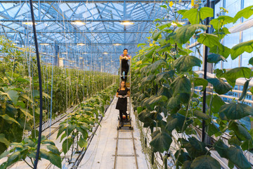Two female employees or workers picking vegetables in a modern greenhouse