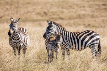 Plains zebra, Equus quagga, family of three- mother, father and baby, standing in the tall grass of the savannah in Kenya