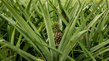 That is how pineapples grow in Mexico. This is how they are formed and this is what they look like before collection.