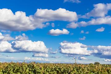 Vignes sur fond de ciel
