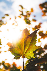A maple leaf covered in dew on a sunny afternoon