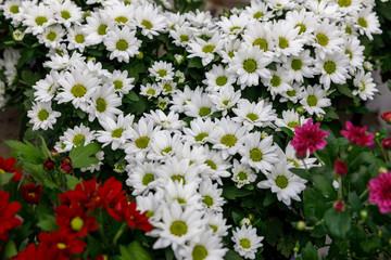 Big bouquet of a white decorative chrysanthemum
