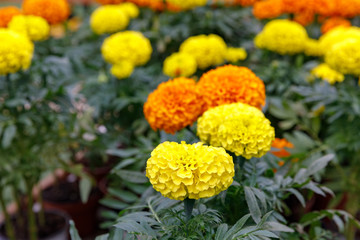 Yellow and orange marigolds with shallow DOF