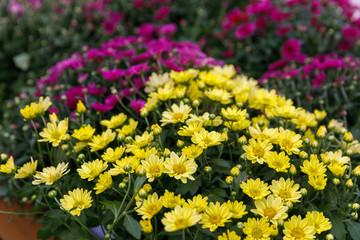 Yellow and pink decorative chrysanthemum