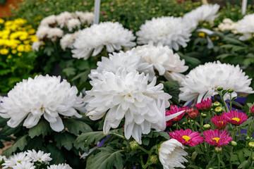 Many white garden chrysanthemum in orangery