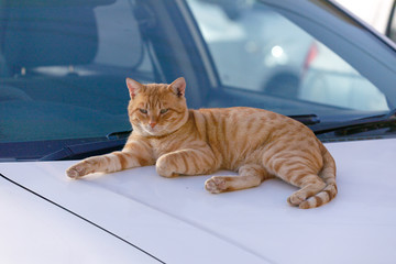 Single red cat is heated on the hood of a car