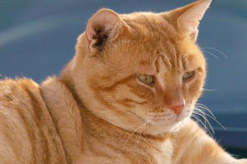 Close up portrait of red cat