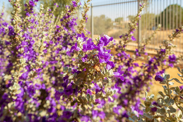 Texas sage bush front of blurred fence