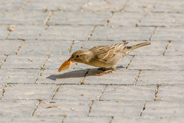 One female sparrow with piece of bread