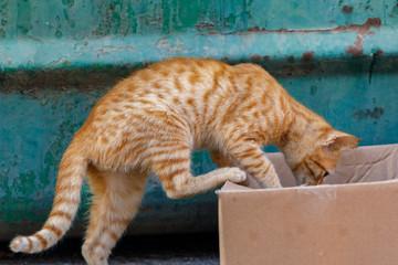Little red kitten, climbs into a cardboard box