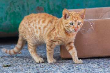 Little red kitten, stands near a cardboard box