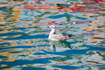 Seagull on a canal in Sete, France, with colorful boats reflected in the water