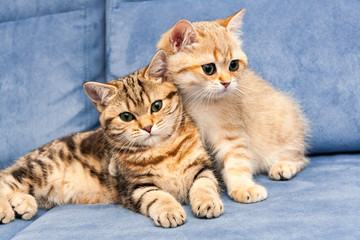 Two cute Golden British kittens with green eyes sit together on a blue sofa, one kitten hugs the other with his paw.