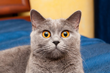 British cat with beautiful orange eyes, charming muzzle of gray British cat with huge orange eyes that looks straight into the camera close-up.