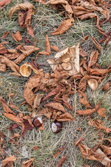 Chestnut lying on the ground and dry leaves.