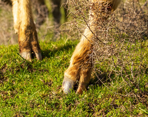 Cow hooves on the grass in spring