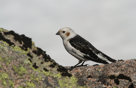 A male Snow Bunting (Plectrophenax nivalis) in summer plumage perching on a rock, high in the Scottish mountains.