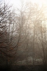 An Image of a fog, forest