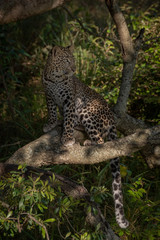 Leopard sits in dappled sunshine on branch