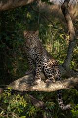 Leopard sits on branch in dappled sunshine