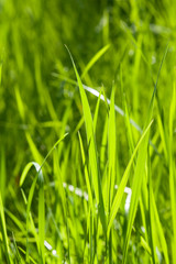 Green fresh grass macro background with bokeh, shallow DOF, selective focus