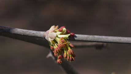 Male flowers on branch ash-leaved maple, Acer negundo, macro with bokeh background, selective focus, shallow DOF