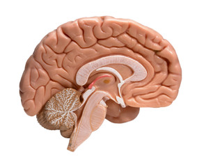 LEFT HALF OF HUMAN BRAIN ON WHITE BACKGROUND