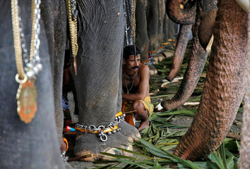 A mahout sits in between the elephants before taking part in the annual eight-day long Vrischikolsavam festival at Sree Poornathrayeesa temple in Kochi