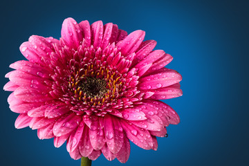 Fresh Gerbera flowers.